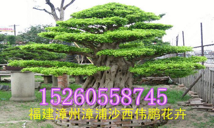 中国榕树盆景之乡--福建省漳州市漳浦县沙西镇